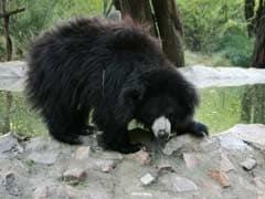 Wild Bear Kills 3 People In Chhattisgarh Before Being Shot