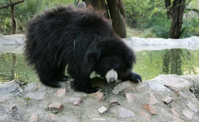 3 Killed In Bear Attack In Chandrapur District Of Maharashtra