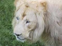 White Lion Shot Dead Near Canadian Capital