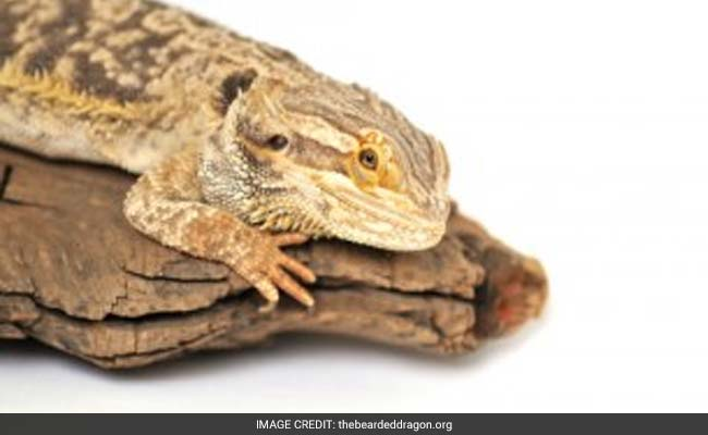 These Dozing 'Dragons' Could Change How We Think About Sleep