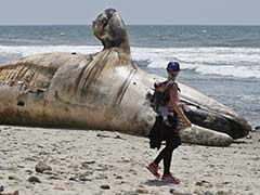 How Do You Remove A 40-Foot, 30-Ton Whale From A Beach?