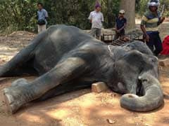 Cambodia Firm To Reduce Elephant Work Hours After Heatstroke Death