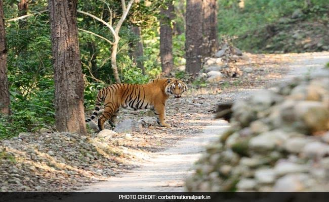 High Court Orders CBI Probe Into Death Of Tigers At Corbett National Park