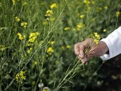 Not Ready For GM Mustard Seeds, Says Rajasthan Agriculture Minister Prabhulal Saini