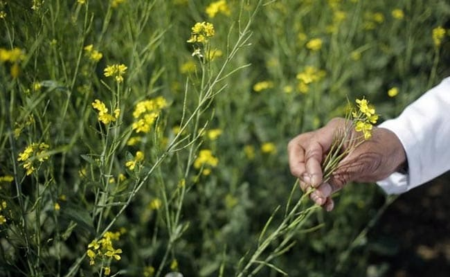 Rajasthan Not To Allow Genetically Modified Mustard Even If Centre Approves