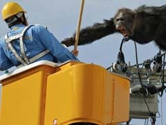 Chimpanzee Flees Japan Zoo, Caught After Falling From Power Pole