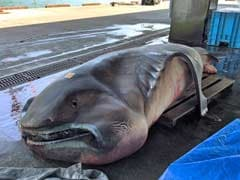 Rare Megamouth Shark Caught in Japan is What Nightmares are Made of