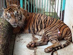Rare Tiger Dies At Indonesia's 'Death Zoo'