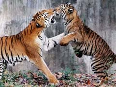 India Ready To Help Non-Tiger Countries To Create Tiger Habitat: Government