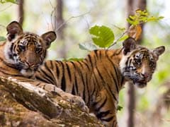 Despite Growth In Numbers, All Is Not Well For Tigers, Says Report