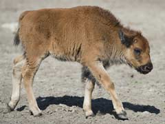 Baby Bison Put Down After Tourists Put It In Their Car
