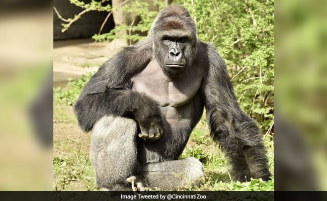 US Police Launch Probe Into Gorilla Exhibit Incident