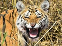 Endangered Tigers Under Threat In Indian Forest That Inspired 'Jungle Book'
