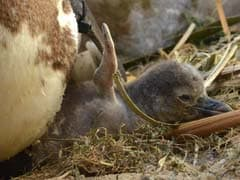 Japan Hatches Penguin Chicks Using Artificial Insemination