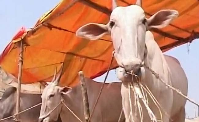 Cattle Sold In Markets Cannot Be Slaughtered, Says Government