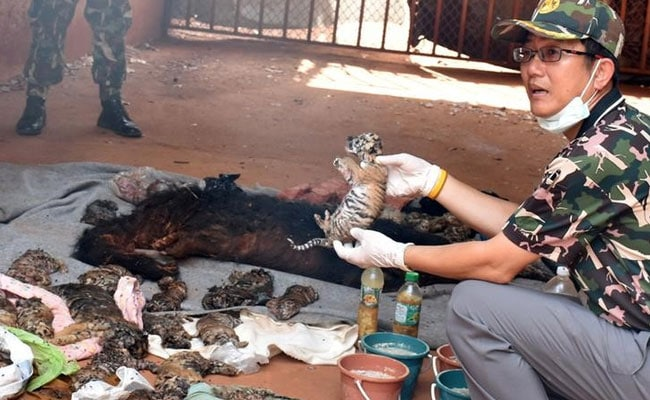 40 Tiger Cub Bodies Found In A Freezer At A Thailand Temple