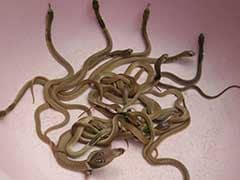 Snake Scare In China As 180 Cobras Flee Breeding Farm