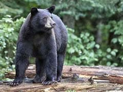 4 People Died In Apparent Bear Attacks In Northern Japan