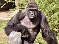 60,000 People Now Want Harambe To Be A Pokemon. Why The Dead Gorilla Meme Won't Die.