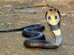 Cobra Pair Causes Panic In Agra Residential Colony
