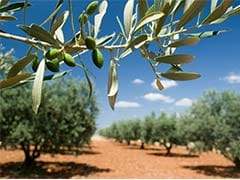 Italy Can Fell Diseased Olive Trees: European Union Court  To Commission