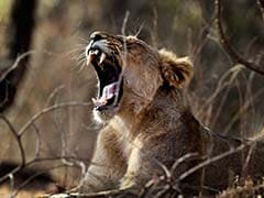 Lioness Dies In Road Accident In Gujarat