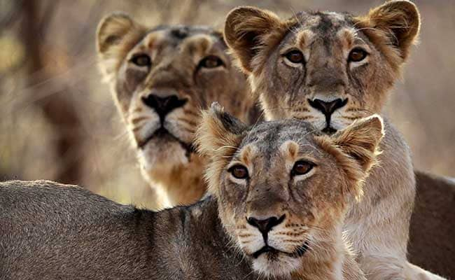 As Gir Deaths Spike, Concerns About Virus That Killed 1000 Tanzania Lions