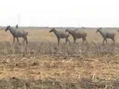 Nilgai Culling In Bihar Won't Be Stopped For Now