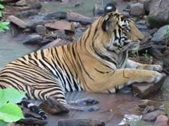 Ken-Betwa River Linking Can Drown A Chunk Of Panna Tiger Reserve