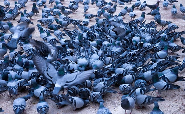 Pigeons Swarm Chennai Airport, Nomads Roped In To Shoo Them Away