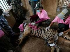 Unending Horror: Authorities Discover Tiger Slaughterhouse At Thai Temple