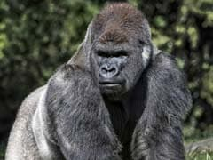 In A First, Two Gorillas At US Zoo Test Positive For COVID-19