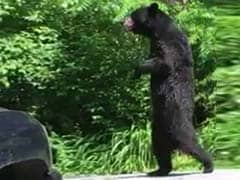 Pedals, A Bear That Walks Upright, Is Back - So Is The Fight To Help Him