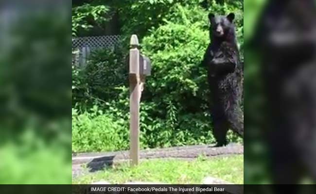when grizzly bears walked upright