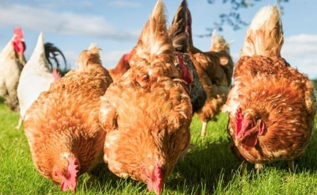 Chicken Odour Prevents Malaria: Research