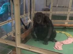 How a Touch Screen Helped a Paralysed Chimp Walk Again