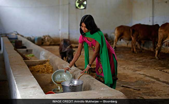 With Modi Government, Cow Urine Turns Into Liquid Gold: Foreign Media