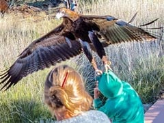 Giant Eagle At Australian Wildlife Show Gets A Little Too Wild, Attacks Boy