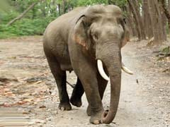 Stranded Indian Elephant Rescued By Bangladesh Forest Officials