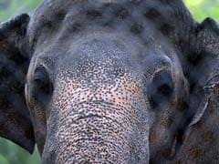 Female Elephant Found Dead With Bullet Injuries