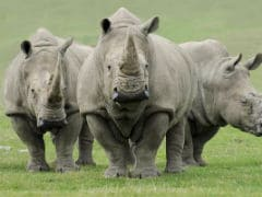 239 Rhinos Killed In Assam Since 2001, Most Killed In Kaziranga