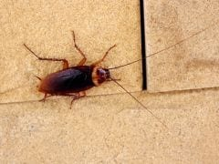 Can Cockroach Milk Be the Next Super Food?