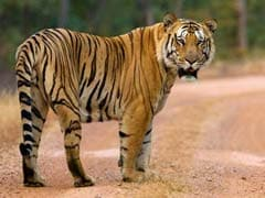 Jai, Stunning 250 Kg Tiger, Missing For 99 Days