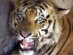 Girl Killed By Tiger In Uttar Pradesh