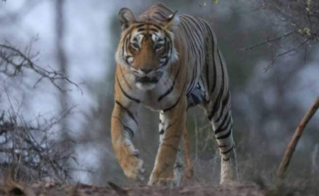 Tiger From Madhya Pradesh's Tiger Reserve Healthy: Odisha Minister
