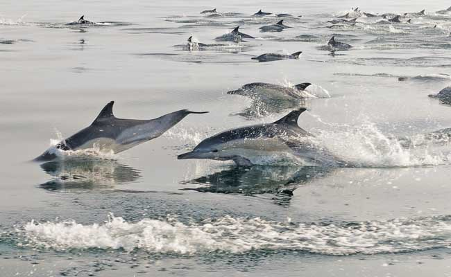 Dolphins Spotted At Olive Ridley Nesting Site In Odisha's Ganjam District