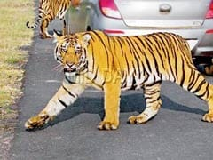 Large Tiger Sighted In Bhandara, Forest Officials Hope It Is Jai
