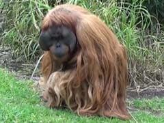 Music-Loving Ape Releases Debut Single For World Orangutan Day