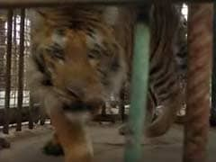 Laziz The Tiger And Friends Leave 'World's Worst' Zoo For A Better Life