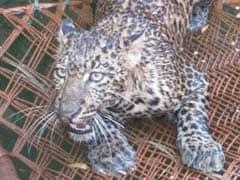 Leopard Strays Into Residential Area In Kishtwar, Captured